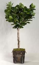 7' FIDDLE LEAF FIG TREE IN RUSTIC WOODEN PLANTER