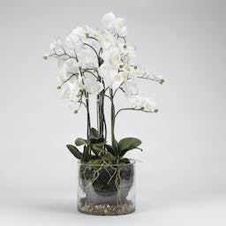 Orchid Plant in Oval Metal Bucket White