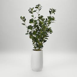 Ficus Plant in Tall Round Planter White