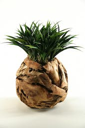 Lily Grass In Wooden Root Ball Planter Green