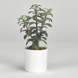 Tree Succulents in White Cylinder White
