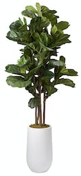 6.5' Brazilian Fiddle Leaf Fig Trees In Tall Round White Planter