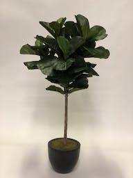 5.5' Brazilian Fiddle Leaf Fig Trees In Round Glossy Black Planter