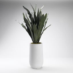 Mother in Law's Tounge Plant in Ceramic Planter White